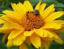 Цветок гелиопсиса