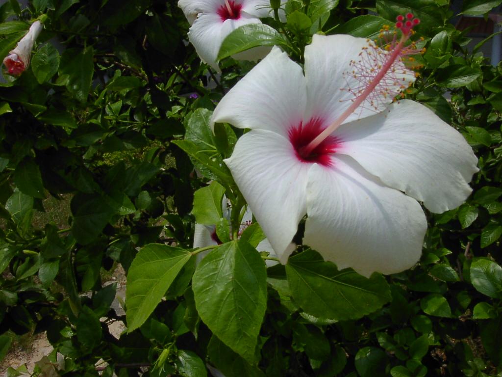 белая китайская роза фото быть именно здесь