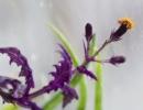 Растение Гинура