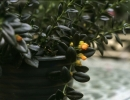 Фото. Гипоцирта голая