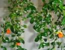 Гипоцирта голая цветок