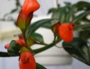 Гипоцирта монетная цветок