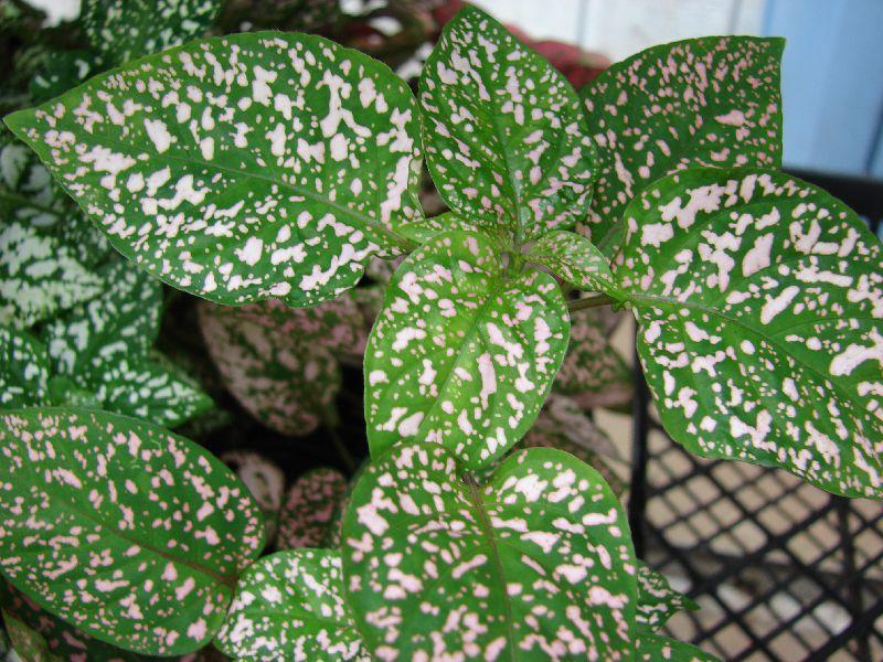 Растение в крапинку фото