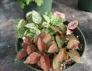 Цветок Гипоэстес