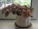 Фото. Цветок Гипоэстес