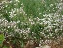 Гипсофила ползучая (Gypsophila muralis)