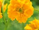 Желтый гравилат
