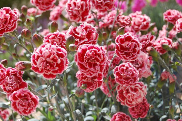Гвоздика многолетняя посадка и уход, гвоздика садовая, турецкая, китайская с фото