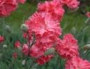 Цветы гвоздики