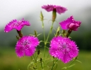Фото. Цветы гвоздики