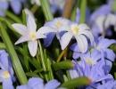 Цветы голубой хионодоксы