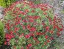 Хризантема кустарниковая