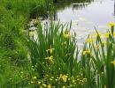 Ирис болотный или ложноаировый