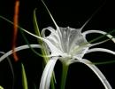 Цветок исмене