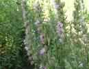 Иссоп в начале цветения