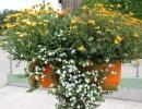 Календула в большом садовом горшке