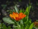Распускающийся цветок календулы