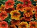 Цветки калибрахоа