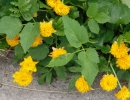 Калужница болотная Flore Pleno
