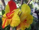Орхидные канны