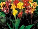 Лиственные или мелкоцветковые канны