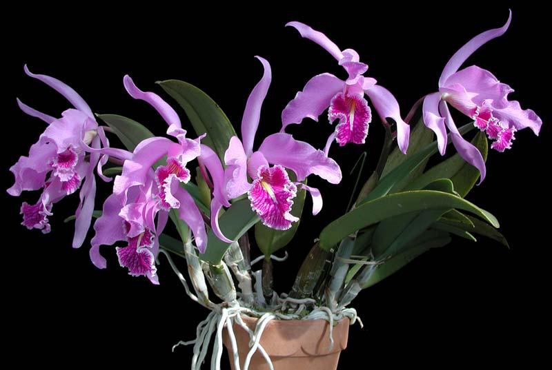 Орхидея каттлея фото уход в домашних