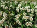 Цветущий белый клевер