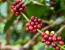 Кофе сорта рабуста