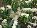Ветки цветущего кофе