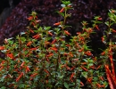Огненно-красная куфея (Cupheaignea)