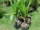 Кокосовая пальма сорт Настоящая пальма (C. nucifera)