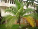 Кокосовая пальма сорт Отличный кокос (Cocos insignis)