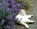 Кошка около котовника