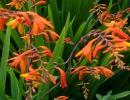 Цветки крокосмии