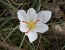 Крокус альбус