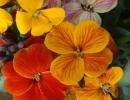 Растение лакфиоль