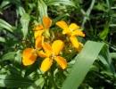 Фото. Растение лакфиоль