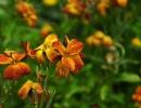 Фото. Цветок лакфиоль