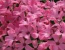 Цветы розовой лаватеры