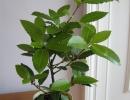 Лавровый лист растение