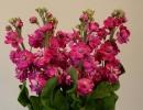 Цветы Левкой