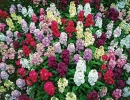 Цветы Левкой седой