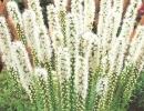 Белый лиатрис