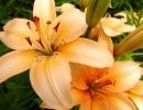 Оранжево-белые лилии