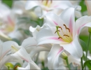 Белоснежные лилии