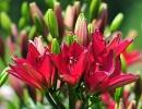 Букет красных лилий