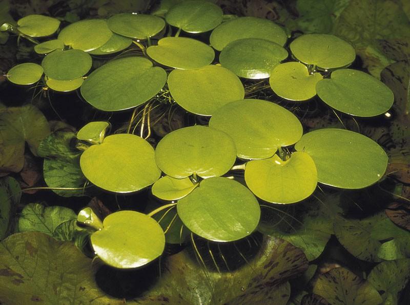 плавающие аквариумные растения фото и описание луаз