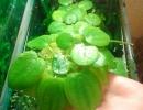Водное растение Лимнобиум