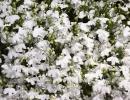 Буйство цветущей лобелии