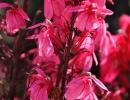 Розовая лобелия
